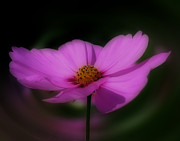 Smilin Eyes  Treasures - Pink Cosmos Flower...