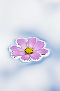 Colorful Floral Posters - Pink Cosmos flower floating on water Poster by Tim Gainey