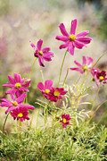 Asteraceae Photos - Pink Cosmos by Juli Scalzi