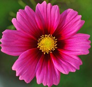 Pink Cosmos Print by Kathleen Struckle