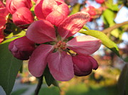 Elisabeth Ann - Pink Crab Apple Flower...