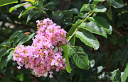 Leaves Pyrography Metal Prints - Pink Crape Myrtle Blossom with Tiny Bee Metal Print by Linda Phelps