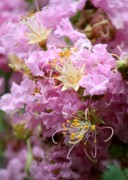 Light Pink Prints - Pink Crepe Myrtle Closeup Print by Carol Groenen