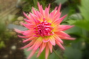 Plant Greeting Cards Prints - Pink Dahlia Print by Brian Chase