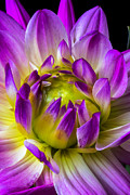 Dahlias Photos - Pink Dahlia close up by Garry Gay