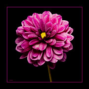 Home Grown Digital Art Framed Prints - Pink Dahlia Close-Up Framed Print by Gary Cain