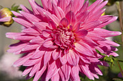 Pink Dahlia II Print by Peter French
