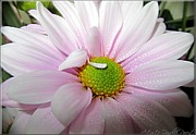 Pink Daisy Freshness With Water Droplets Print by Danielle  Parent