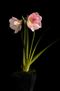 Pink Diamond Amaryllis Print by Claudio Bacinello