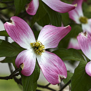 Kathy Clark - Pink Dogwood Blossom Up...