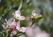 Cornus Prints - Pink Dogwood Blossoms Print by Heather Applegate