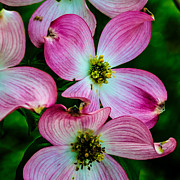 Medford Photos - Pink Dogwood by Louis Dallara