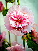 Blurred Background Prints - Pink Double Hollyhock Print by Robert Bales