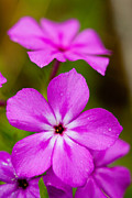 Featured Art - Pink Drummond Phlox wildflowers with raindrops by Matt Suess