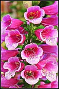 Foxglove Flowers Framed Prints - Pink Fantasy Framed Print by Dora Sofia Caputo