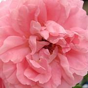 Patricia Sundik - Pink Farmers Market Rose