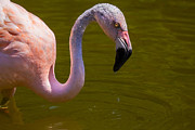 Pond Lake Photos - Pink Flamingo by Garry Gay
