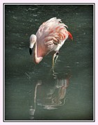 Donald Hill - Pink Flamingo Reflection