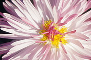 Brian Jones Prints - Pink Flower 4 Print by Brian Jones