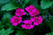 Cluster Of Flowers Photo Posters - Pink Flower Cluster Poster by Greg Thiemeyer