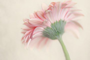 Gerbera Daisy Metal Prints - Pink Flower Photography - Pink Nursery Wall Art - Baby Girl Nursery Art - Pale Pink Mint Green Decor Metal Print by Amy Tyler
