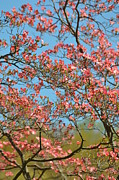 Blooming Tree Posters - Pink Flowers Blue Skies Poster by Adspice Studios