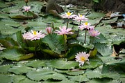 Andy Fletcher - Pink Flowers on Lily Pads