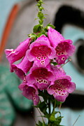 Raindrops Prints - Pink Foxglove Print by Karon Melillo DeVega