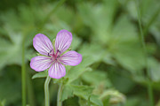Pink Geranium In Bloom In Yellowstone Print by Bruce Gourley