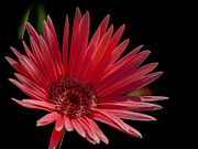 Interior Design Art - Pink Gerber Daisy by Renee Barnes