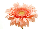 White Photo Posters - Pink gerbera Poster by Fabrizio Troiani