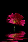 Pink Gerbera Flood 1 Print by Steve Purnell