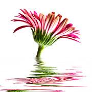 Pink Gerbera Flood 2 Print by Steve Purnell