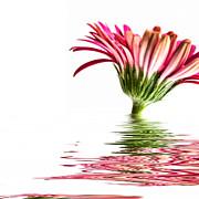 Pink Gerbera Flood 3 Print by Steve Purnell