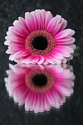 Pretty Flower Prints - Pink Gerbera flower Print by Becs Mason