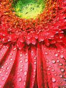 Pink Gerbera Flower Print by Odon Czintos