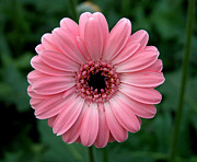 Joanna Williams - Pink Gerbera