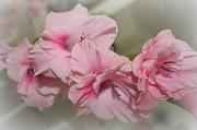 Dorothy Menera - Pink Gladiolus