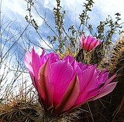 Arizona Journey - Pink Hedgehog