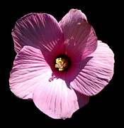 Flower Works Photos - Pink Hibiscus Flower on Black by Rose Santuci-Sofranko