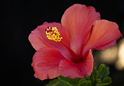 Pink Hibiscus Posters - Pink Hibiscus  Poster by Saija  Lehtonen