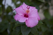 Pink Hibiscus Print by Terry Horstman