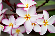 Thanh Tran - Pink Highlighted Plumeria