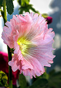 Scenic Greeting Cards Framed Prints - Pink Hollyhock Framed Print by Robert Bales