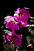 Hollyhocks Photos - Pink Hollyhocks by David Patterson