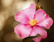 Peta Thames - Pink Home Run Rose