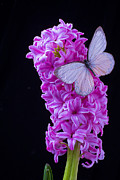 Garry Gay - Pink Hyacinth With White...