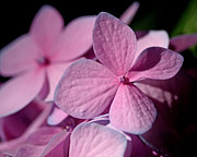 Bright Pink Prints - Pink Hydrangea Print by Rona Black