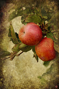 Apples Digital Art Prints - Pink Ladies Print by Linda Lees