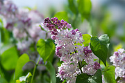 Pink Lilacs And Green Leaves - Featured 3 Print by Alexander Senin